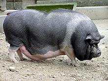 potbelly_pig