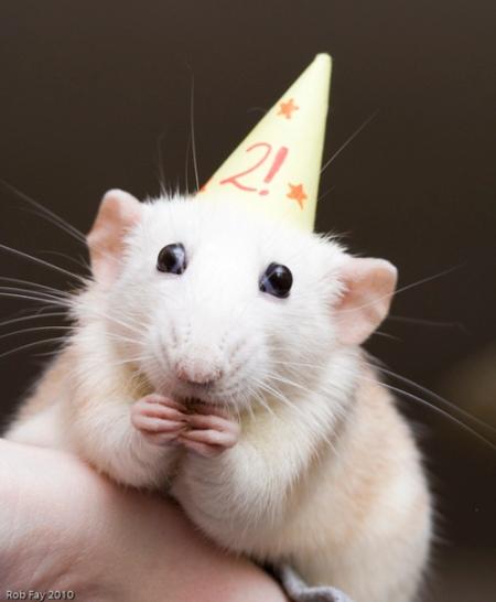 Happy rat